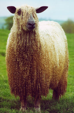 Lovely locked Wensleydale . Image from North American Wensleydale Sheep Association