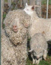 Happy mohair goats