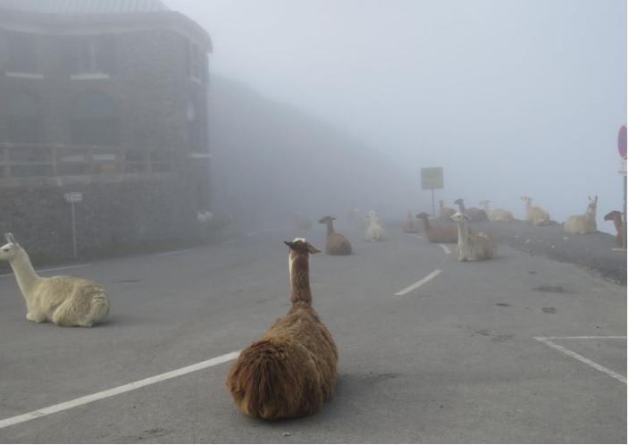 Llamas in the Tour de France  (Photo: Joel Adages/Facebook)