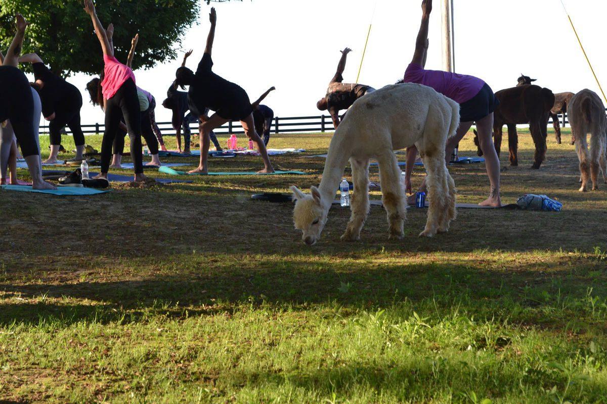 alpaca yoga class