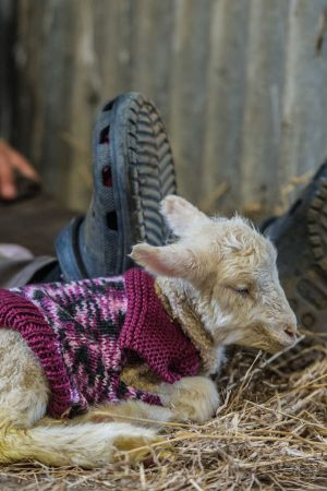 Day Old lamb in a knitted jumper