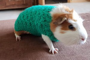 Guinea pig in green jumper