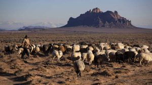 Irene Bennalley walks her herd of Navajo-Churro sheep out to grazing land where extreme drought has gripped the Four Corners region near Two Grey Hills, New Mexico. Brian van der Brug / Los Angeles Times